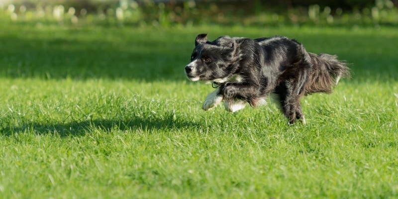 Το σκυλί κόλλεϊ συνόρων συναγωνίζεται γρήγορα πέρα από ένα πάρκο στοκ εικόνες
