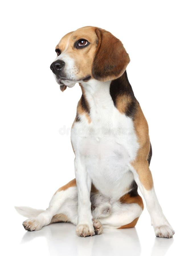Το σκυλί λαγωνικών κάθεται στην άσπρη ανασκόπηση στοκ φωτογραφία με δικαίωμα ελεύθερης χρήσης