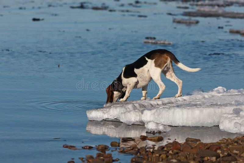 το σκυλί πίνει το ύδωρ στοκ φωτογραφίες με δικαίωμα ελεύθερης χρήσης