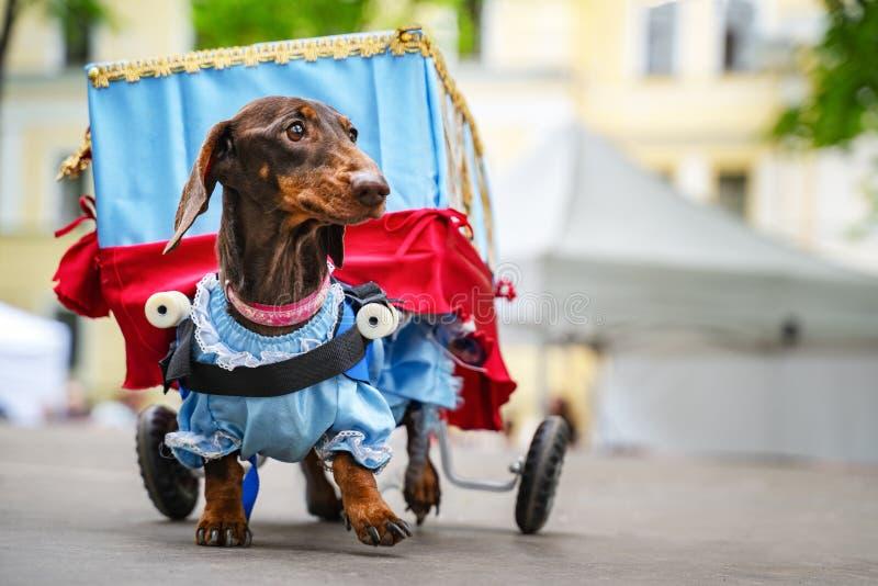 Το σκυλί πορτρέτου του Dachshund είναι εκτός λειτουργίας φυλή στο κοστούμι ως διακινούμενο θέατρο στο πάρκο σε ένα φεστιβάλ παρελ στοκ φωτογραφία με δικαίωμα ελεύθερης χρήσης