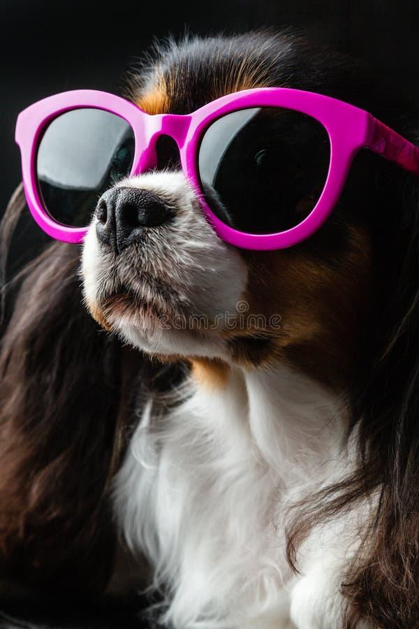 Το σκυλί στα ρόδινα γυαλιά ηλίου κοιτάζει κατά μέρος στοκ εικόνα