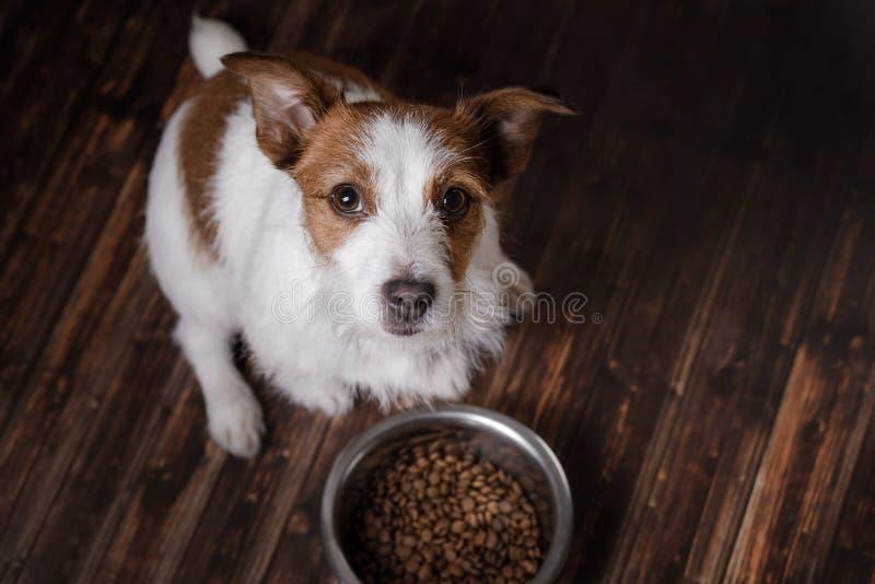 Το σκυλί στο πάτωμα Τεριέ του Jack Russell και ένα κύπελλο της τροφής στοκ εικόνες
