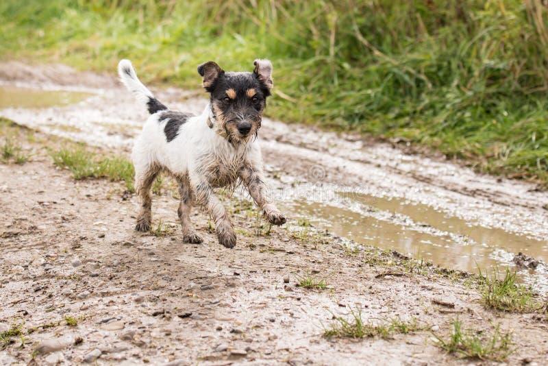 Το σκυλί τεριέ του Jack Russell τρέχει γρήγορα πέρα από μια υγρή βρώμικη πορεία στοκ φωτογραφίες με δικαίωμα ελεύθερης χρήσης