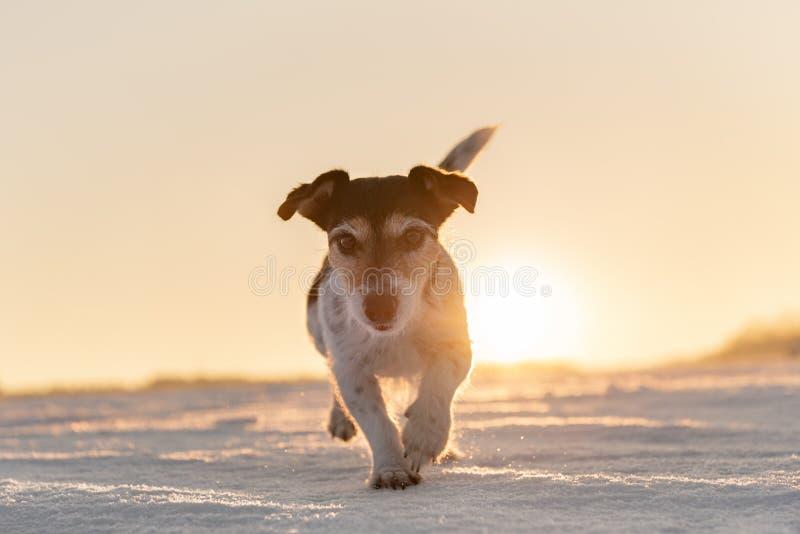 Το σκυλί τεριέ του Jack Russell τρέχει γρήγορα σε μια ατμοσφαιρική ανατολή στοκ φωτογραφίες