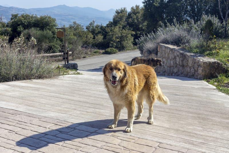Το σκυλί του redhead ποιμένα που στέκεται στην επάνω διάβαση πεζών στοκ φωτογραφία