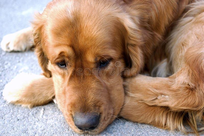 το σκυλί φαίνεται λυπημέν&o στοκ φωτογραφία με δικαίωμα ελεύθερης χρήσης