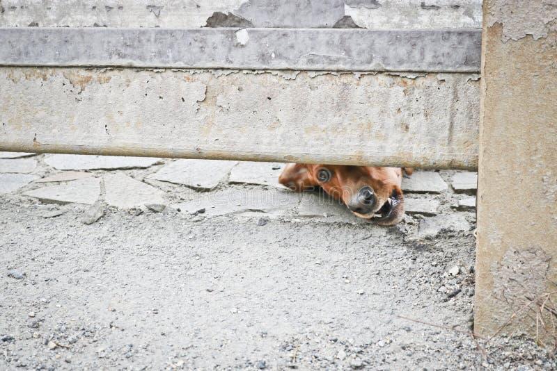 Το σκυλί φρουρεί το σπίτι και εξετάζει τους περαστικούς Καφετί γερμανικό ασβός-σκυλί - σκυλί φρουράς Το σκυλάκι διατύπωσης παραπό στοκ εικόνα