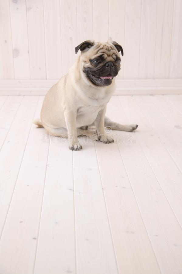 Το σκυλί Puggy κάθεται στο πάτωμα στοκ εικόνα