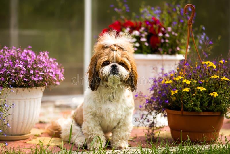 Το σκυλί Tzu Shih κάθεται στο χορτοτάπητα στον κήπο σε ένα υπόβαθρο των λουλουδιών στοκ εικόνα με δικαίωμα ελεύθερης χρήσης