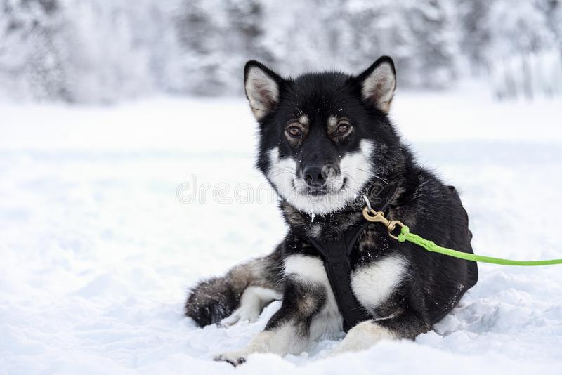 Το σκυλί Usky που παίρνει ένα σπάσιμο μεταξύ του ελκήθρου τραβά στοκ εικόνες