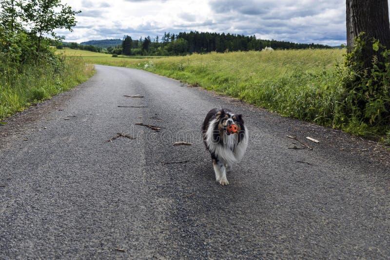 Το σκυλί λίγο κόλλεϊ φέρνει το μπαλόνι κατά μήκος του τρόπου στοκ εικόνες