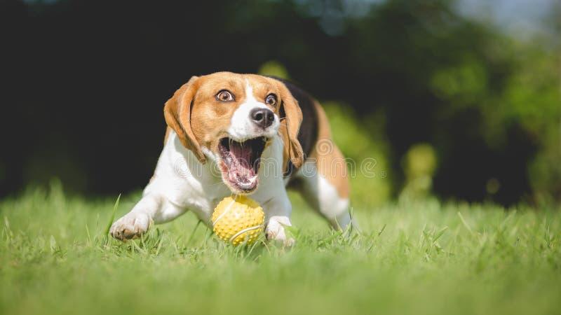 Το σκυλί λαγωνικών αποτυγχάνει να πιάσει τη σφαίρα στοκ φωτογραφίες