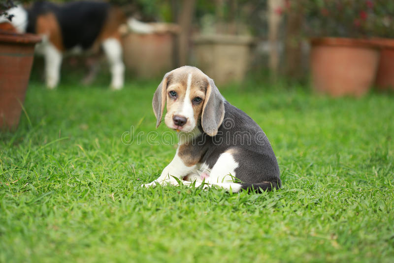 Το σκυλί λαγωνικών ενηλίκων και κουταβιών παίζει στο χορτοτάπητα στοκ εικόνα