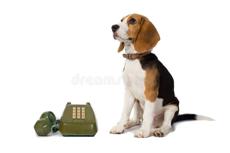 Το σκυλί λαγωνικών περιμένει το τηλεφωνικό δαχτυλίδι στο άσπρο υπόβαθρο στοκ εικόνα