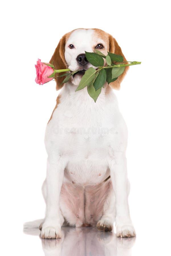 Το σκυλί λαγωνικών που κρατά αυξήθηκε στοκ εικόνες