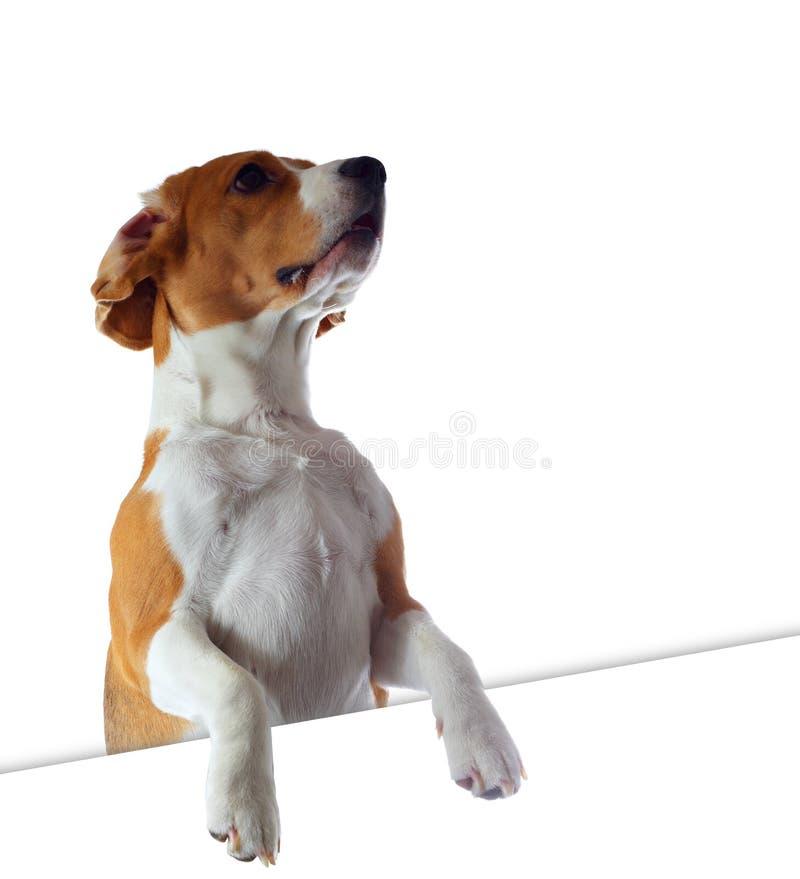 Το σκυλί λαγωνικών φαίνεται έξω άσπρο υπόβαθρο που απομονώνεται στοκ εικόνα