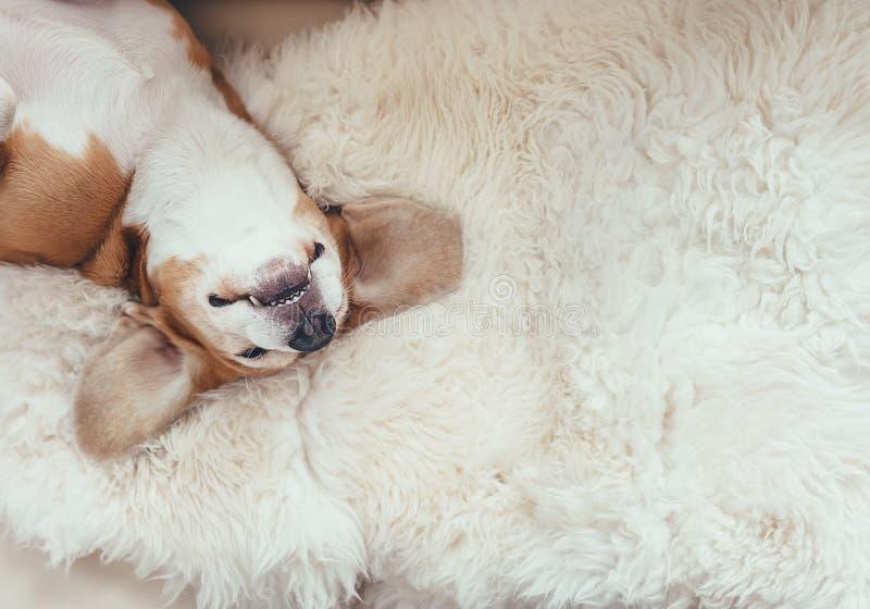 Το σκυλί λαγωνικών ύπνου βρίσκεται στο coverlet γουνών στον καναπέ στοκ φωτογραφία με δικαίωμα ελεύθερης χρήσης