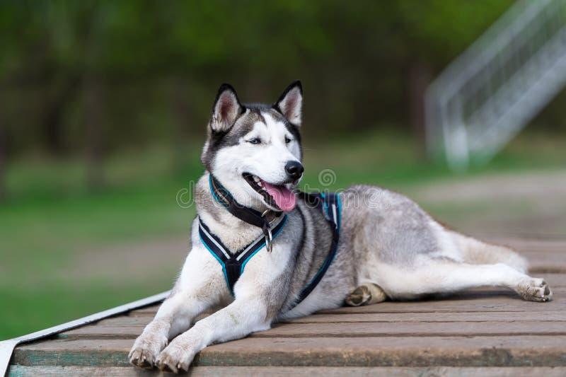 Το σκυλί βρίσκεται στην ξύλινη γέφυρα στοκ εικόνες