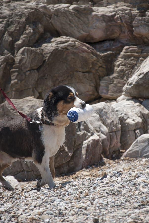 το σκυλί εκπαίδευσε για τη διάσωση εκπαιδευτικός την εν πλω ακτή στοκ φωτογραφία με δικαίωμα ελεύθερης χρήσης