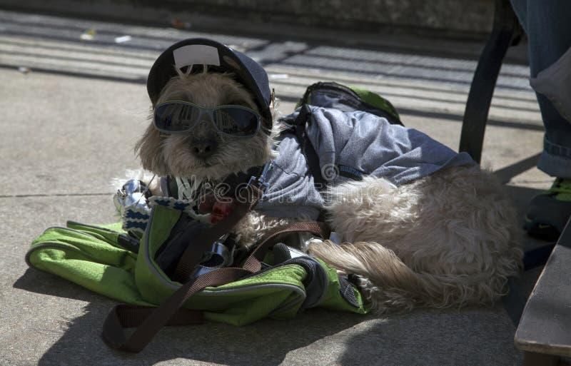 Το σκυλί κάθεται τη φθορά της ΚΑΠ κοντά στο στάδιο Αμερικανού στο Bronx στοκ εικόνες