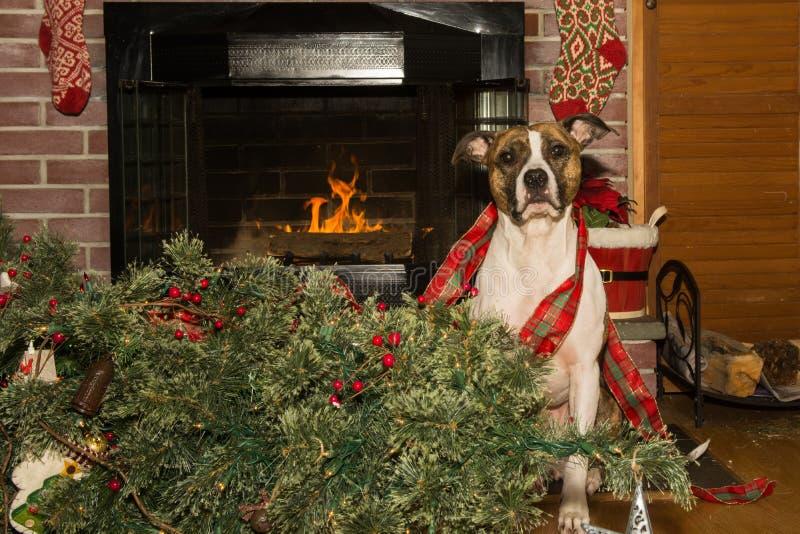 Το σκυλί καταστρέφει τα Χριστούγεννα στοκ φωτογραφίες με δικαίωμα ελεύθερης χρήσης