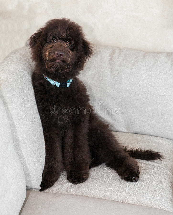 Το σκυλί κουταβιών σοκολάτας labradoodle κάθεται στον καναπέ στοκ φωτογραφίες με δικαίωμα ελεύθερης χρήσης