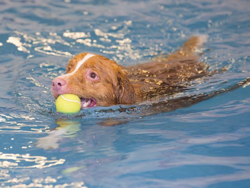 Το σκυλί κολυμπά και προσκομίζει τη σφαίρα στοκ εικόνα