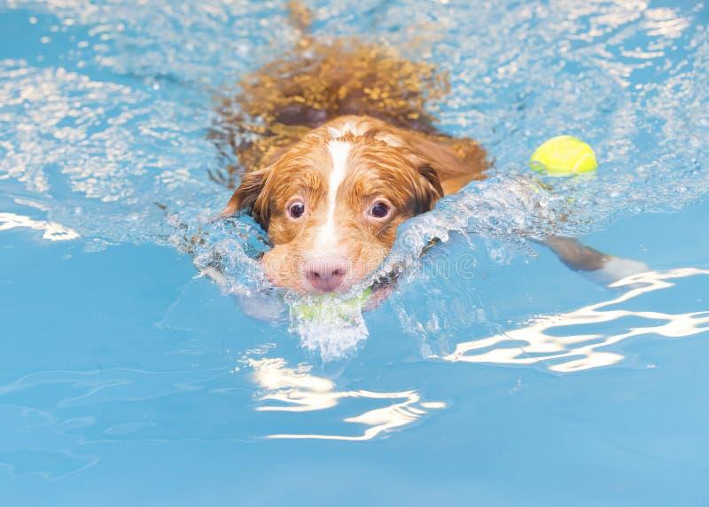 Το σκυλί κολυμπά και προσκομίζει τη σφαίρα στοκ φωτογραφίες με δικαίωμα ελεύθερης χρήσης