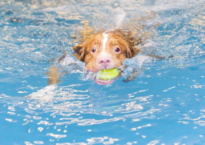 Το σκυλί κολυμπά και προσκομίζει τη σφαίρα στοκ φωτογραφία