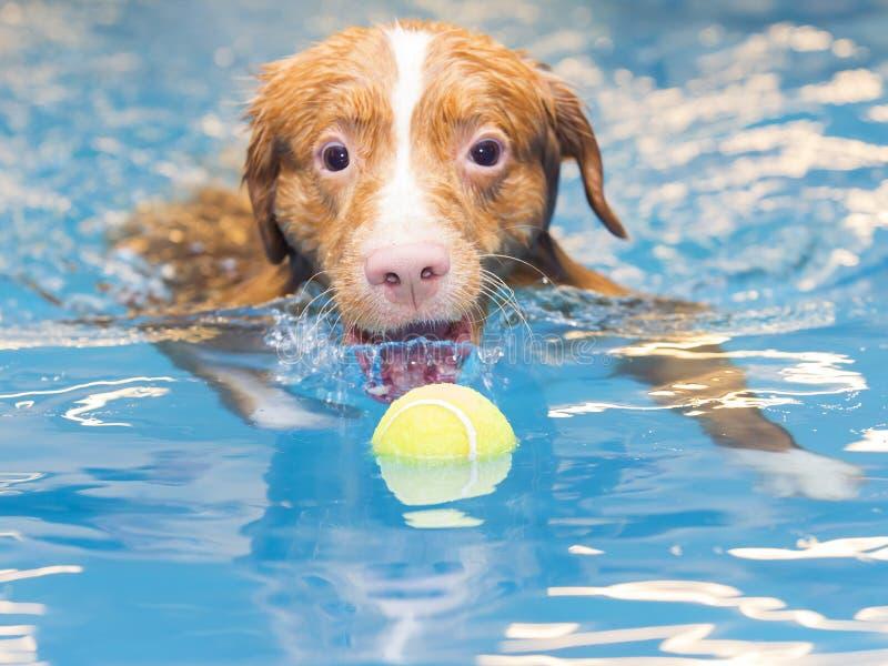 Το σκυλί κολυμπά και προσκομίζει τη σφαίρα στοκ εικόνα με δικαίωμα ελεύθερης χρήσης