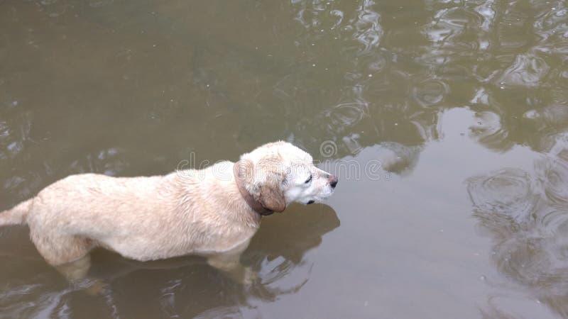 Το σκυλί κολυμπά στο λασπώδες νερό στοκ φωτογραφία