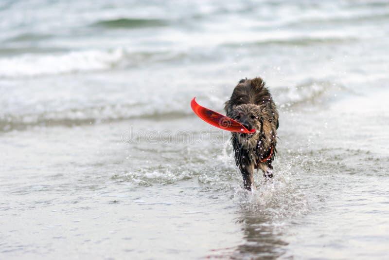 Το σκυλί κολυμπά τη θάλασσα χαρωπά, στοκ εικόνες με δικαίωμα ελεύθερης χρήσης