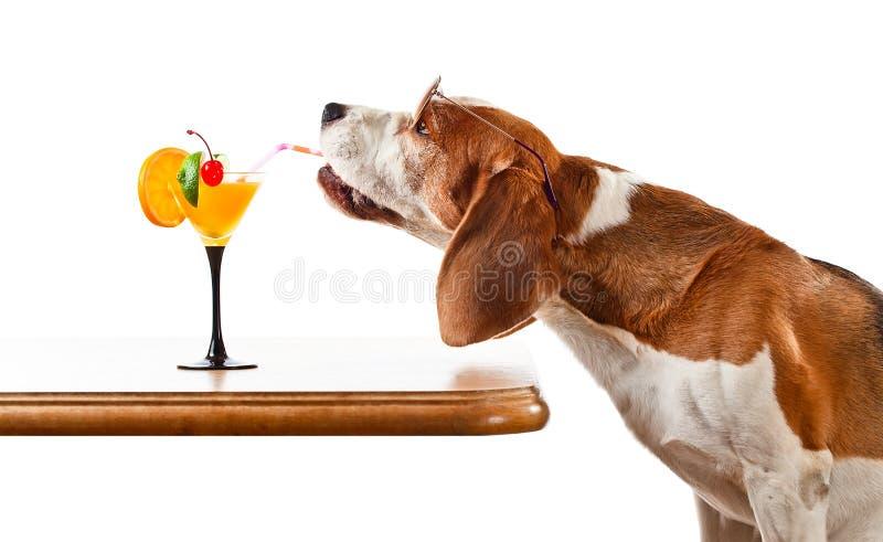Το σκυλί στα γυαλιά ηλίου πίνει το κοκτέιλ, που απομονώνεται στο λευκό στοκ εικόνα με δικαίωμα ελεύθερης χρήσης