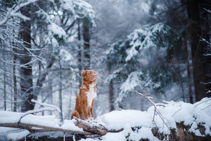 Το σκυλί στο δάσος, το χειμώνα, αυτό χιονίζει στοκ φωτογραφία με δικαίωμα ελεύθερης χρήσης