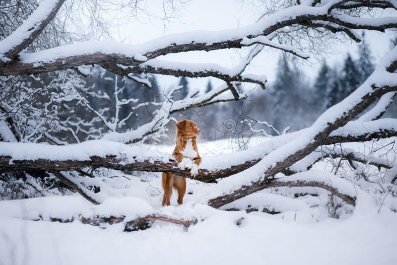 Το σκυλί στο δάσος, το χειμώνα, αυτό χιονίζει στοκ εικόνα με δικαίωμα ελεύθερης χρήσης