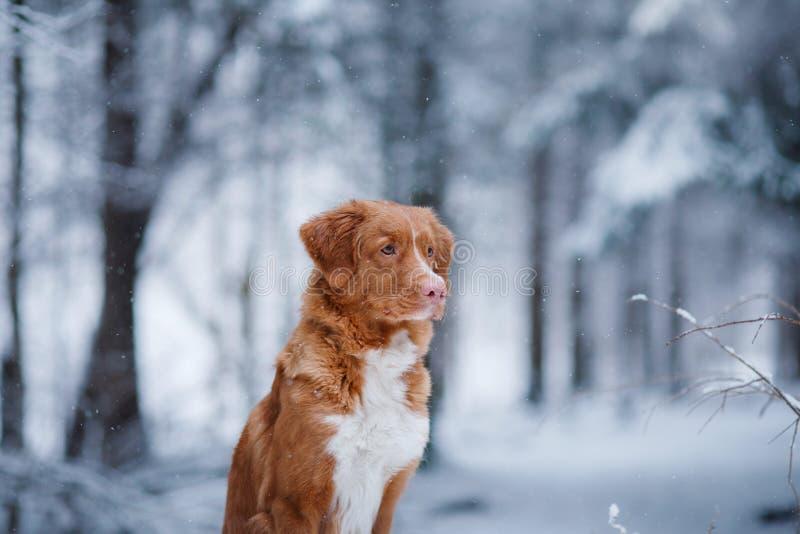 Το σκυλί στο δάσος, το χειμώνα, αυτό χιονίζει στοκ εικόνες