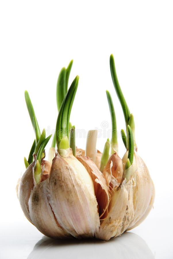 Download το σκόρδο βλασταίνει στοκ εικόνα. εικόνα από ζωή, σίτιση - 13177257