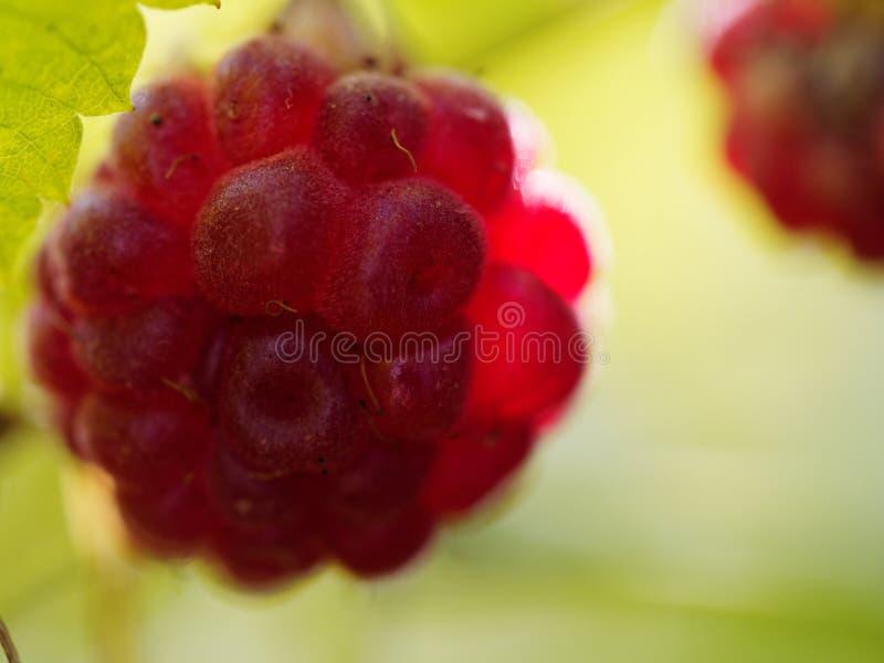Το σμέουρο, ή το idaeus Rubus, κάλεσε επίσης το κόκκινο σμέουρο ή περιστασιακά ευρωπαϊκό σμέουρο που φωτίστηκε ως από το φως του  στοκ φωτογραφία με δικαίωμα ελεύθερης χρήσης
