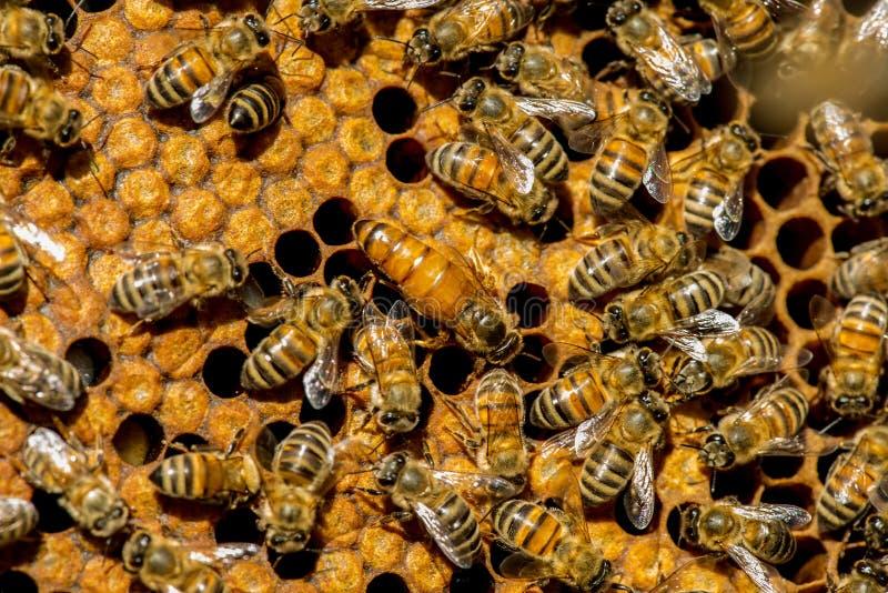Το σμήνος μελισσών βασίλισσας στοκ εικόνα με δικαίωμα ελεύθερης χρήσης
