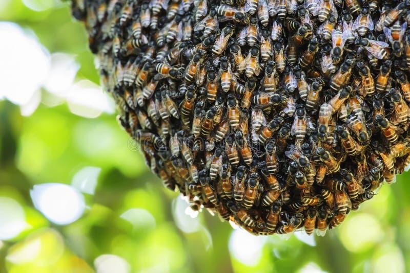 Το σμήνος των μελισσών σύλλεξε για να στηριχτεί την κηρήθρα στους κλάδους στοκ εικόνα