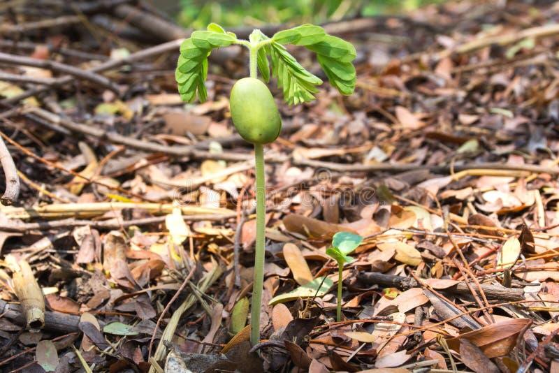Το σπορόφυτο αυξάνεται στο χώμα με τα ξηρά φύλλα με το ψαλίδισμα της πορείας στοκ φωτογραφία με δικαίωμα ελεύθερης χρήσης