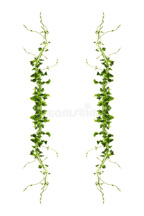 Το σταφύλι του Μπους ή ο three-leaved άγριος κισσός της Λιάνα trifolia Cayratia cayratia αμπέλων φυτεύει το θάμνο, σύνορα ζουγκλώ στοκ φωτογραφία
