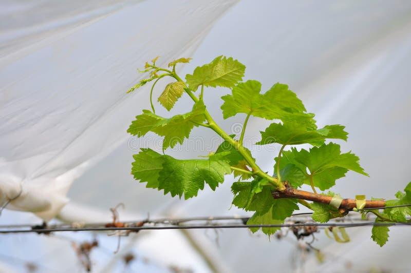 Το σταφύλι βγάζει φύλλα στοκ εικόνα με δικαίωμα ελεύθερης χρήσης