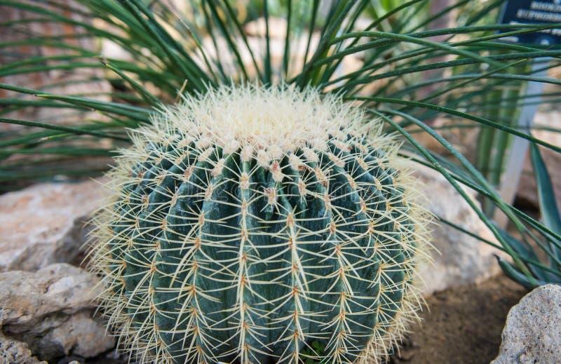 το στενό grusonii echinocactus κάκτων ξεχειλίζει την όψη στοκ εικόνα με δικαίωμα ελεύθερης χρήσης