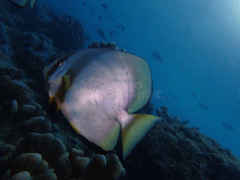 Το σφαιρικό batfish στο σημείο Barracuda, νησί Sipadan Semporna, Tawau, Sabah Μαλαισία, Μπόρνεο στοκ φωτογραφίες
