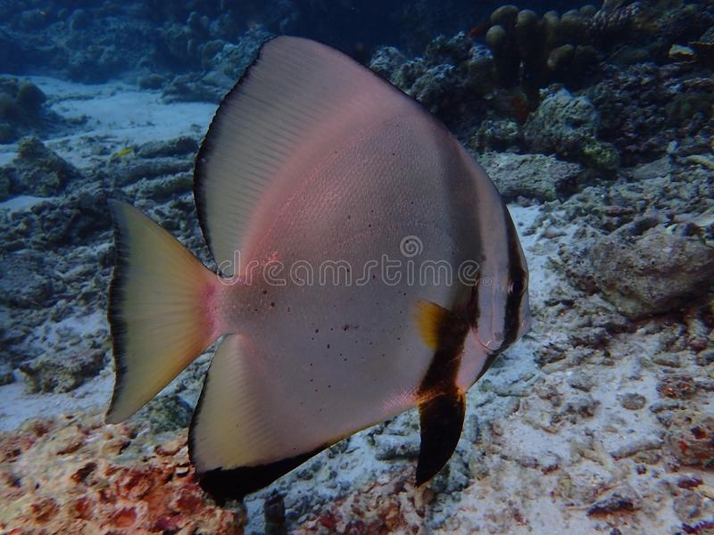 Το σφαιρικό batfish στο σημείο Barracuda, νησί Sipadan Semporna, Tawau, Sabah Μαλαισία, Μπόρνεο στοκ εικόνα με δικαίωμα ελεύθερης χρήσης