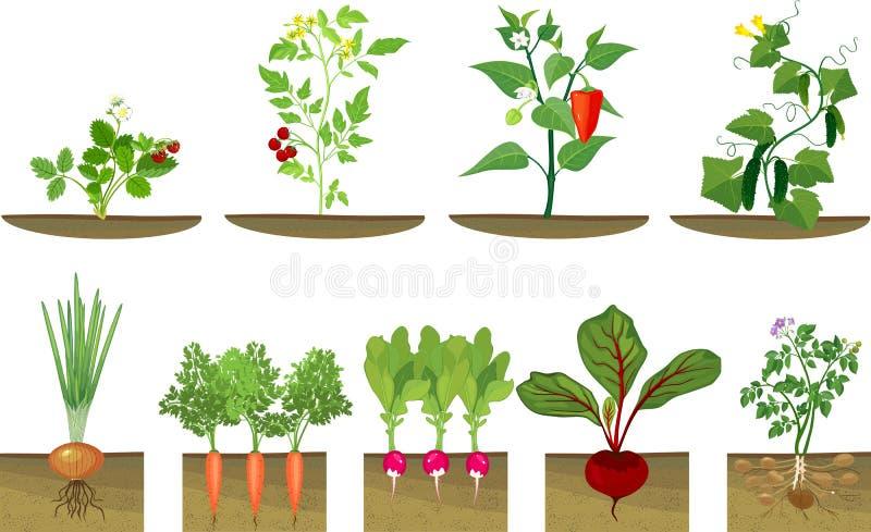 Το σύνολο διαφορετικών λαχανικών φυτεύει την παρουσίαση στη δομή ρίζας υπόγειος επιπέδου στο άσπρο υπόβαθρο διανυσματική απεικόνιση