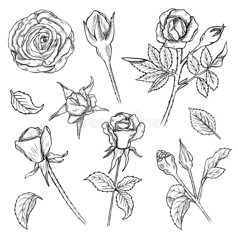 Το σύνολο χεριού που σύρθηκε αυξήθηκε οφθαλμοί και μίσχοι λουλουδιών ελεύθερη απεικόνιση δικαιώματος