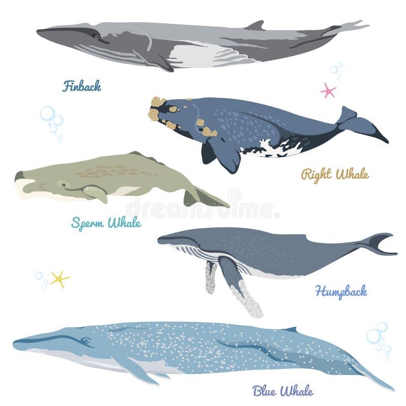 Το σύνολο 5 λεπτομερών φαλαινών από τη διανυσματική απεικόνιση παγκόσμιων ρεαλιστική εικονιδίων περιλαμβάνει finback, σωστή φάλαι απεικόνιση αποθεμάτων