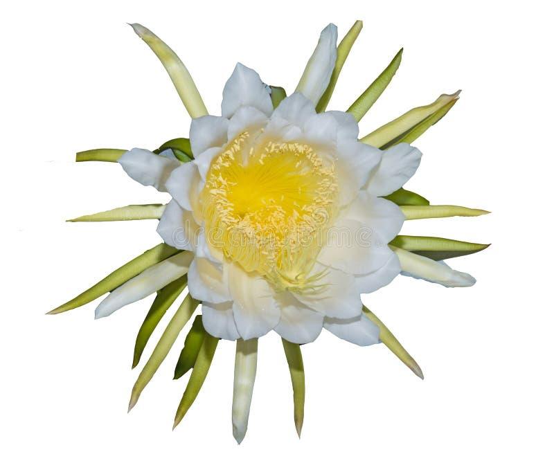 Το ΤΑΪΛΑΝΔΙΚΟ λουλούδι κάκτων αναρρίχησης, στην Ταϊλάνδη καλείται λουλούδι ` ` BOTAN που απομονώνεται στο λευκό στοκ εικόνες με δικαίωμα ελεύθερης χρήσης